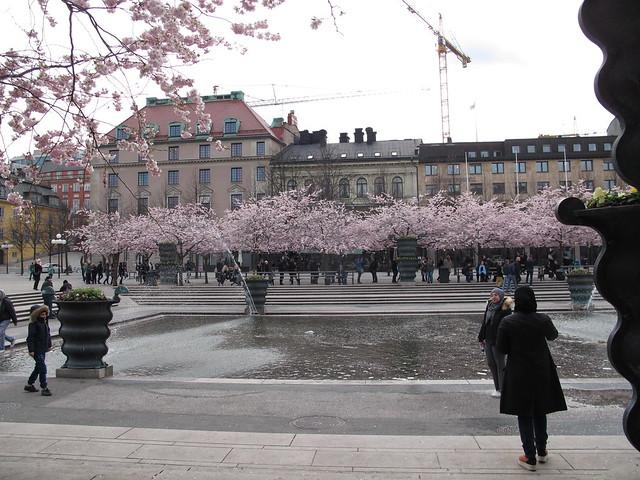 saturday, the cherry blossoms in kungsträdgården, stockholm