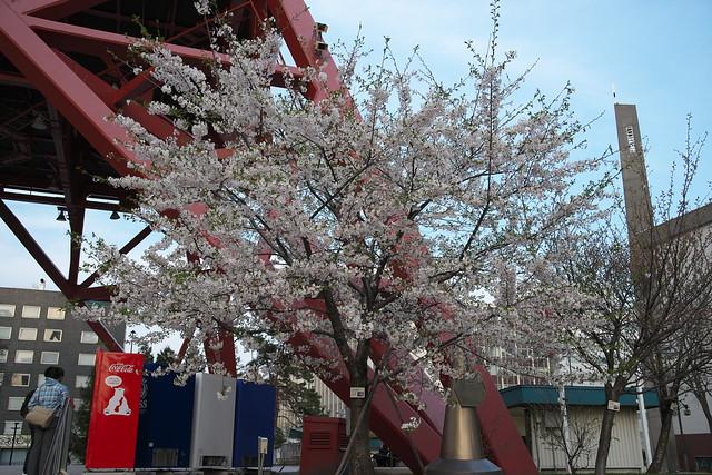 20170503札幌市中央区付近の桜_07