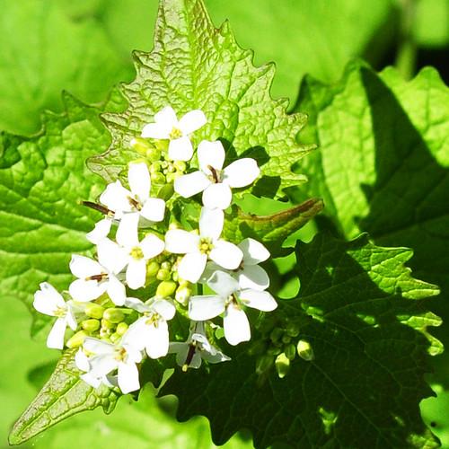 Botanisches am Wegesrand ... Das blüht im Mai 2017 ... Plankstadt bei Heidelberg - Fotos: Brigitte Stolle ... Hier: Knoblauch-Rauke