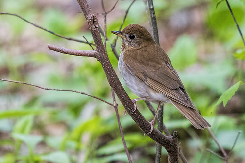 Forest Park: Veery? Yes!