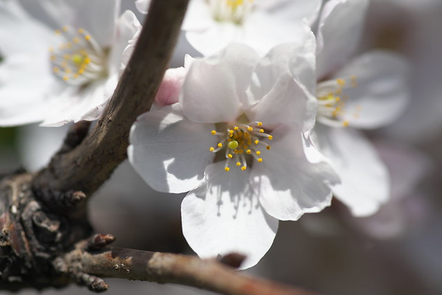 20170504新川さくら並木の桜_13
