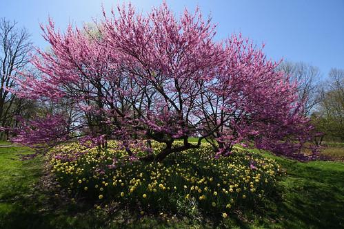 Purple Tree & Daffodils