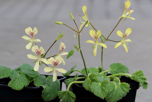 Two forms of Pelargonium oblongatum.
