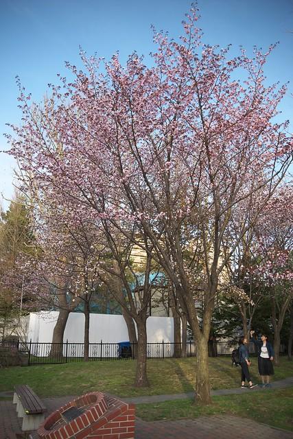 20170503札幌市中央区付近の桜_02
