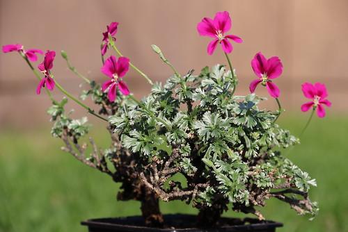 Pelargonium sericifolium