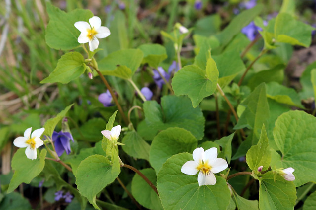 white violets in the foreground, light-purple violets in the background