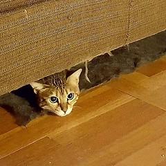 Gracie peekaboo. #catsofinstagram #graciethecat