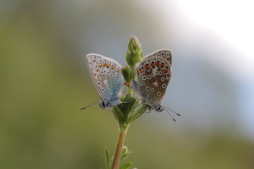 Common Blues on my transect | by paul.anthony.cross