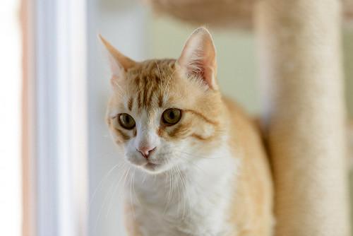 Robin, gato blanco y naranja guapo y súper dulce esterilizado, +inmunodeficiencia nacido en Marzo´15, en ADOPCIÓN ESPECIAL. Valencia. ADOPTADO. 33903007383_49581ed166