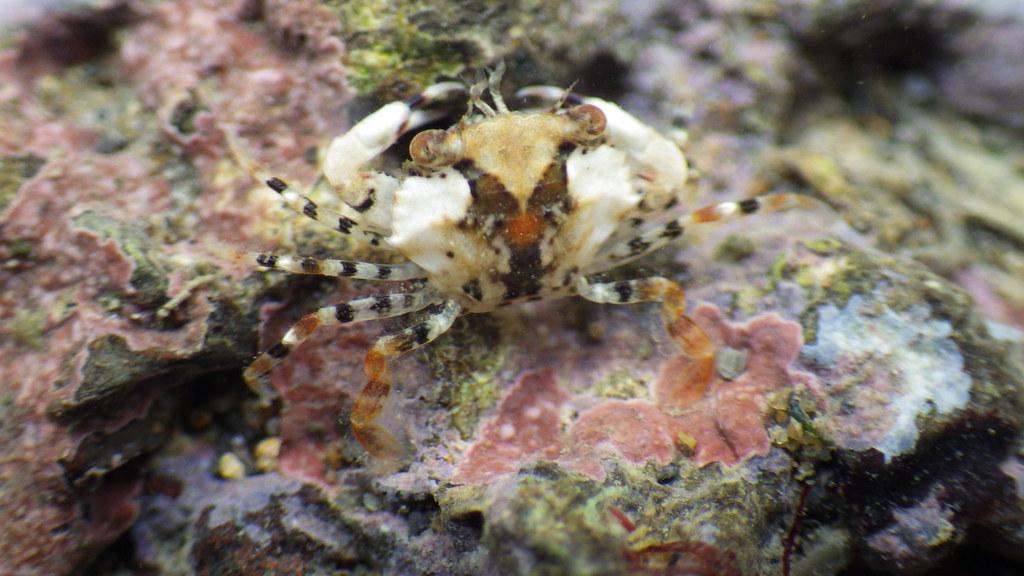 劉靜榆攝G4063位於第3道及第4堤堤之間梭子蟹