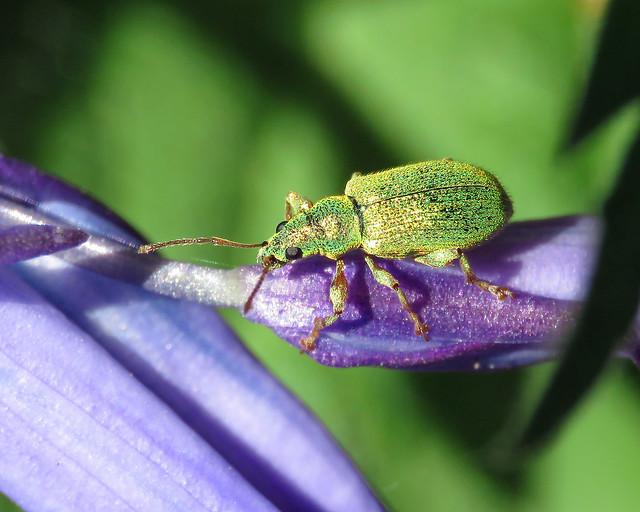 Sliver-green Leaf Beetle - Phyllobius argentatus