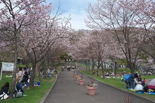 20170505栗山公園の桜_02
