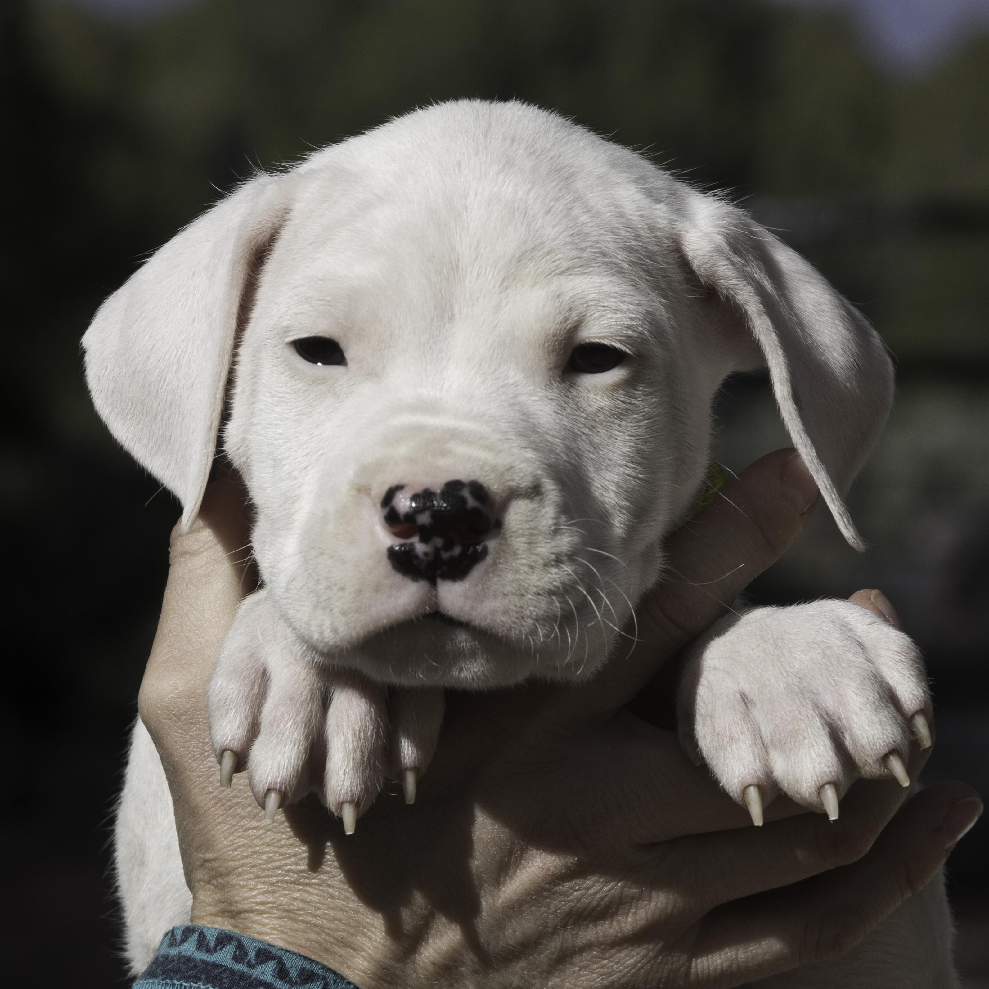 ChexMia-Litter1-Puppy4(female)-day42a