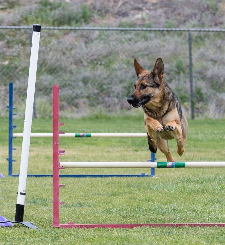 dog_agility_20170507_204