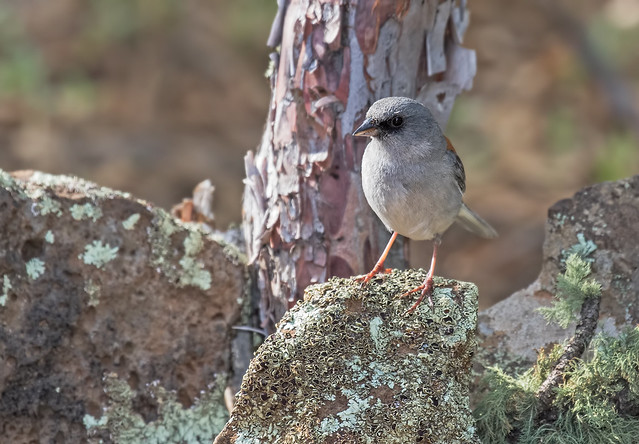 Junco-Red-back-10-7D2-051117