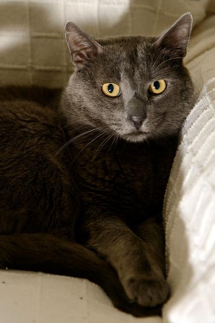 Gris, gato Cruce con Cartujo tímido y tranquilo positivo a inmunodeficiencia nacido en Agosto´15, en ADOPCIÓN ESPECIAL. Valencia. 34712343545_6e53491184_z