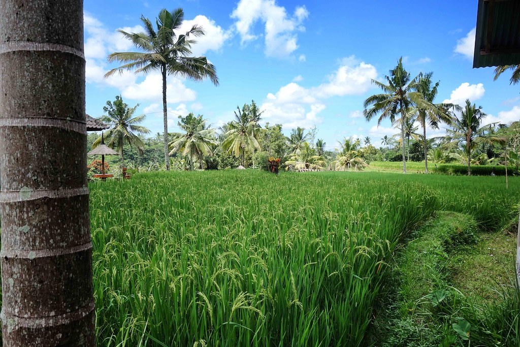 Bali - Ubud - Riziere 4