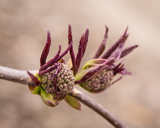 elderberry flower buds