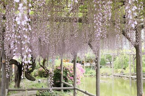 Kameido tenjin wisteria festival 2017 01