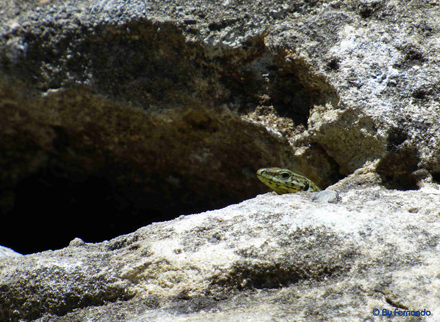La Cova de l'Ocell - Lagartija 02 (07-05-2017)