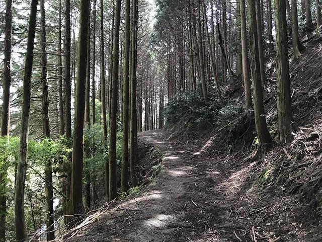 野登山 ミツマタの森ルート 林道