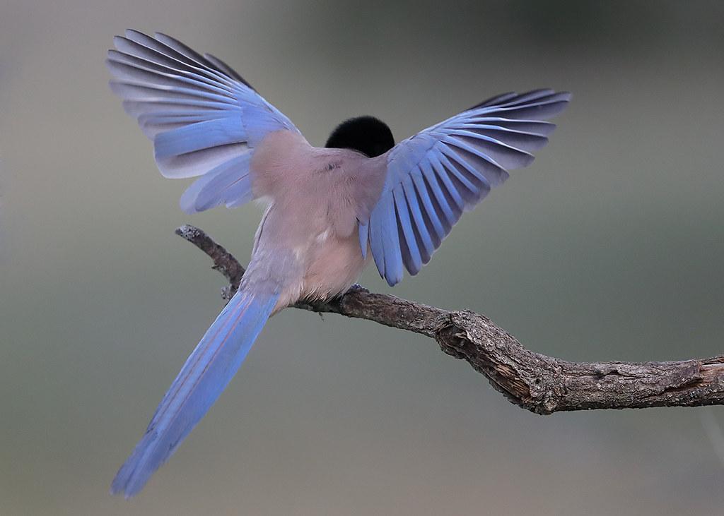 Azure-winged Magpie  Cyanopica cyanus