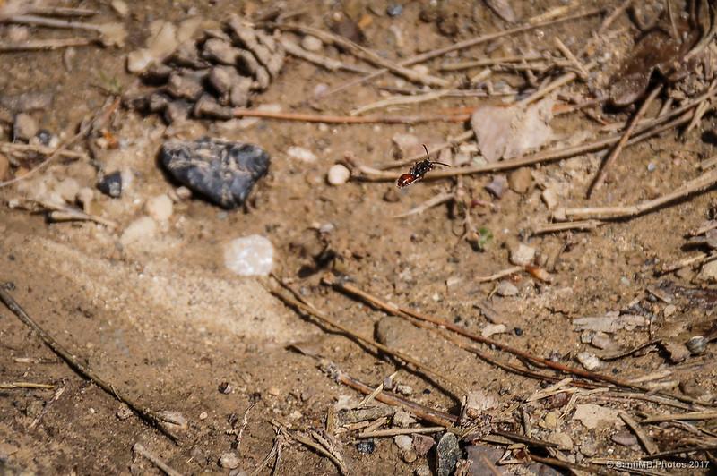 Pequeña avispa volando a ras de suelo