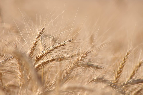 I dream of wheat.