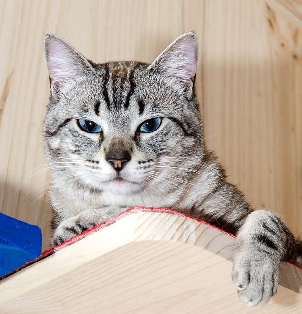 Tango, gato Siamés Tabby de colita corta esterilizado muy guapo, nacido en Enero´16, en adopción. Valencia. ADOPTADO. 34223384690_ccba83b8b5_z
