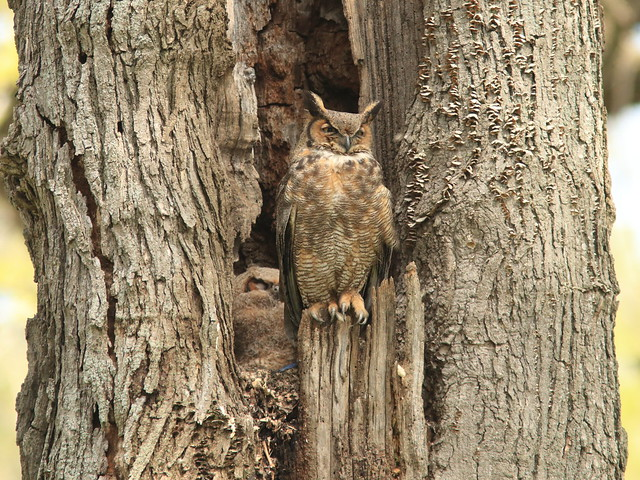 Great Horned Owls 3-20170512