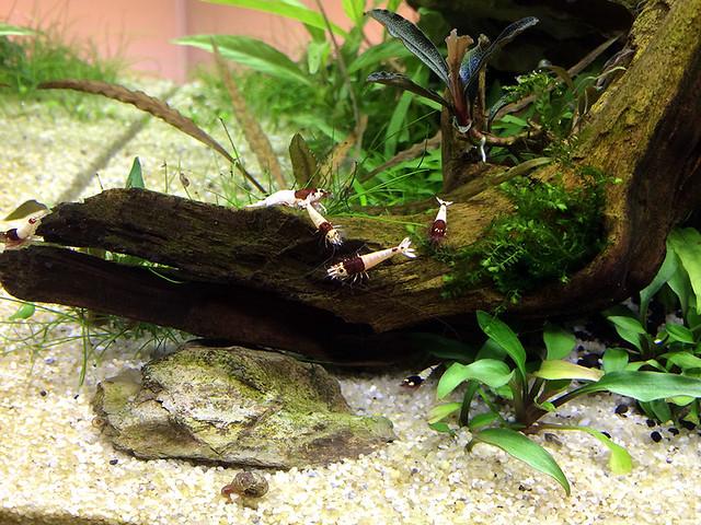 Red Shadow Mosura Shrimp