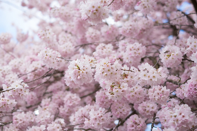 Cherry Blossoms - Seattle-2