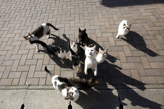 gatos-iwaishima