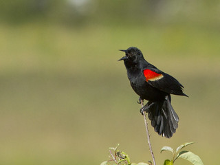 Red-winged Blackbird - rwbl | by StoufferLSU
