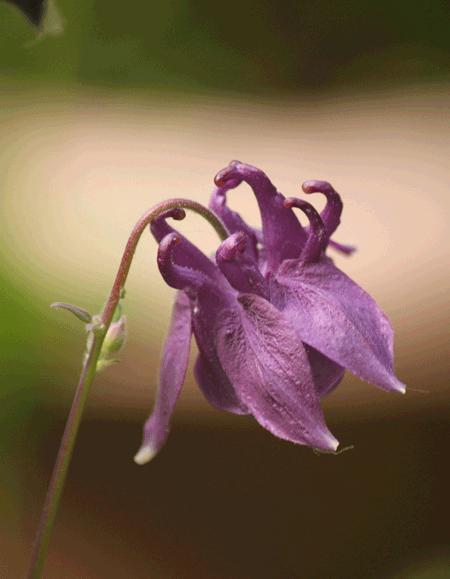 Aquilegia (Columbine) Flower