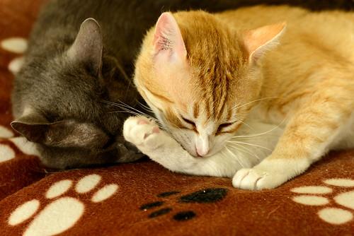 Robin, gato blanco y naranja guapo y súper dulce esterilizado, +inmunodeficiencia nacido en Marzo´15, en ADOPCIÓN ESPECIAL. Valencia. ADOPTADO. 34550782662_a33da77dc6