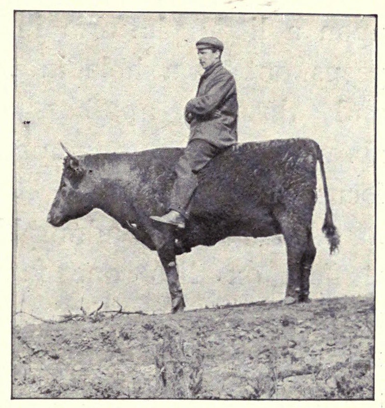 kearton stuffed ox
