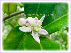Showy 4-5 petalled white flowers of Citrus hystrix (Thai Lime, Kaffir Lime, Makrut Lime, Mauritius Papeda), 25 Nov 2011
