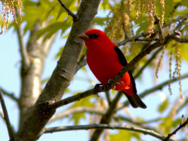 Scarlet Tanager 04-20170510