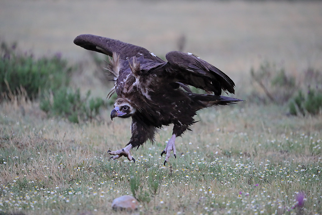 Cinereous Vulture  Aegypius monachus