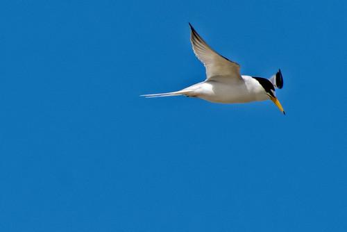 Mecox: Least Tern Aflight