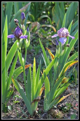 Iris 'Bangles' - Lynda Miller 1993  34134989523_b17c1e0e4e