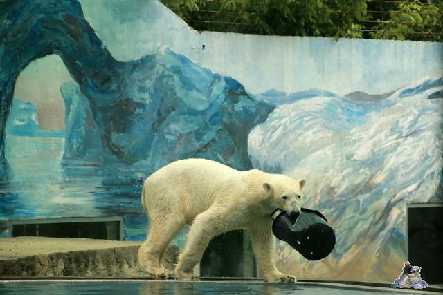 Eisbär Fiete im Zoo Sosto 30.05.2017 082