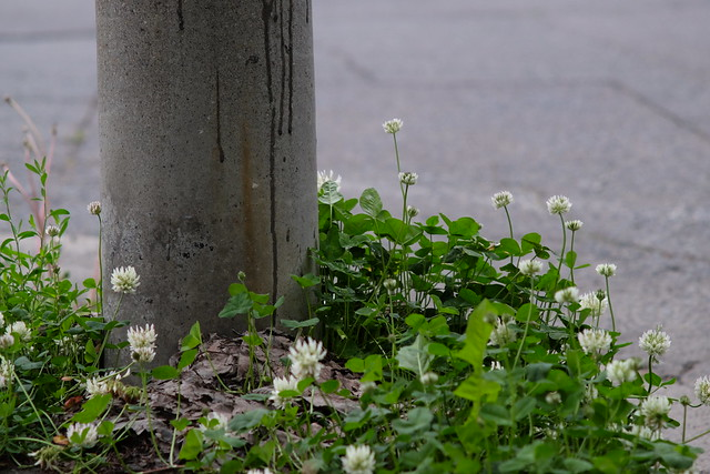 White clovers