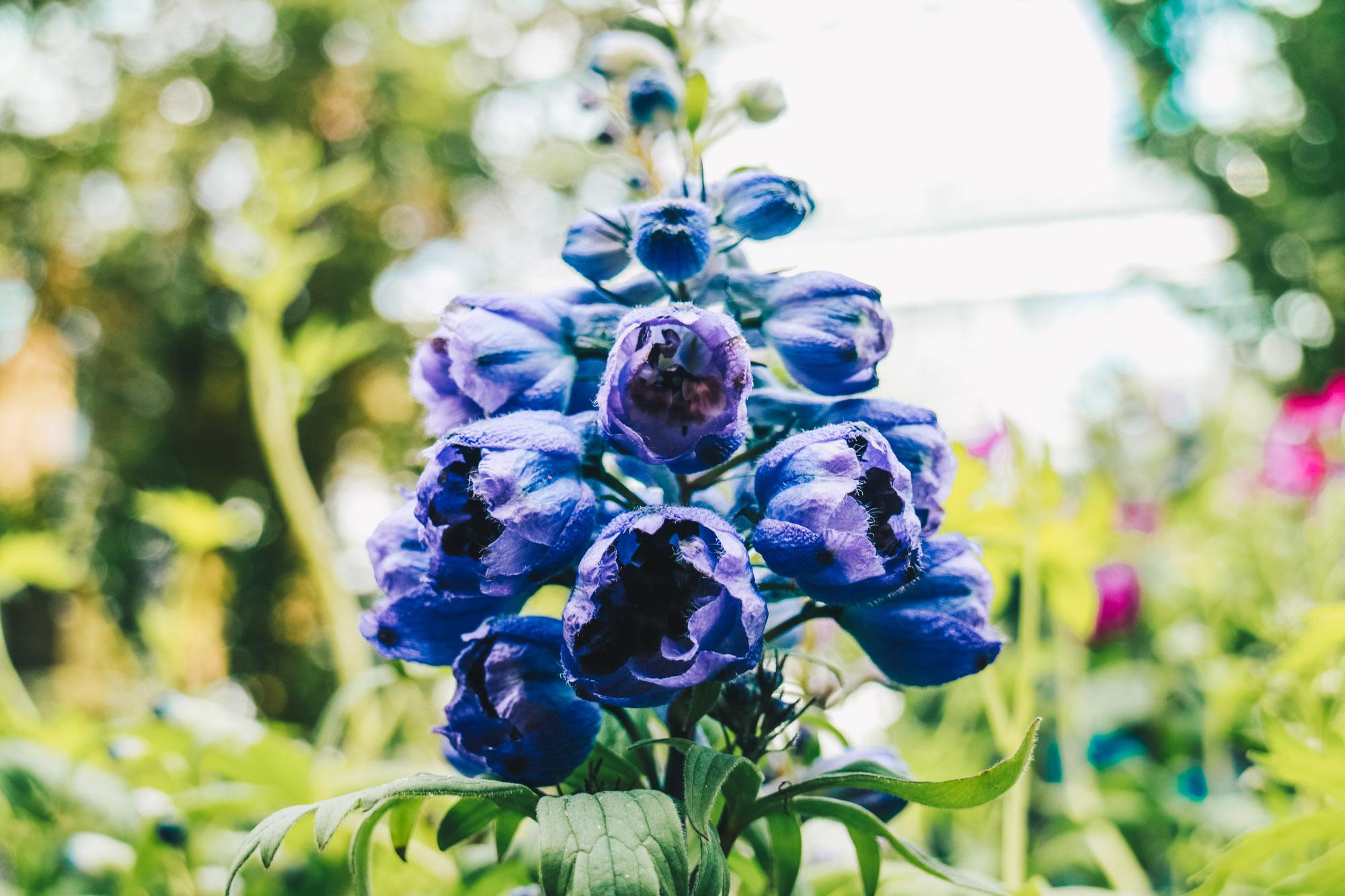 Blue-beauties-floral-display-gardensbythebay-darrenbloggie7