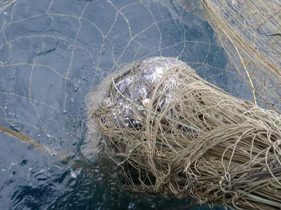 美國加州一隻灰鯨遭到流刺網纏身死亡。圖片來源:NOAA。