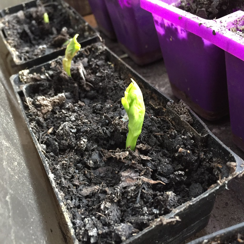 little broad bean seedlings poking their heads up out of the seedling tray