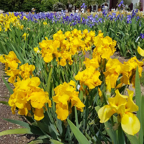 Irisblüte 20170525_143458