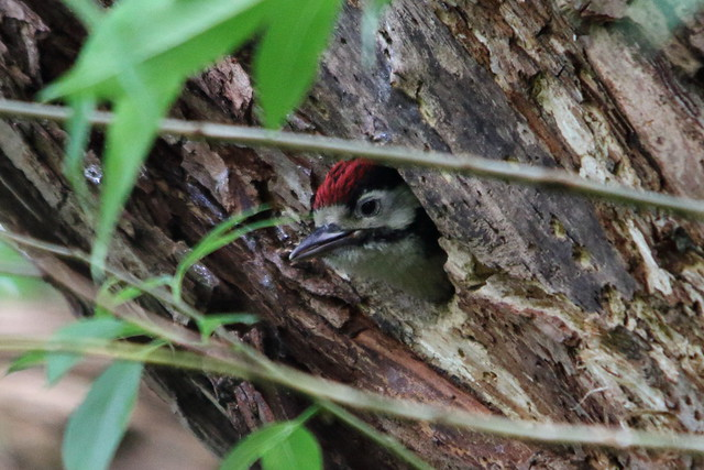 Woodpecker Chick