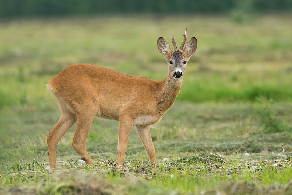 Metskits, kits, Roe, deer, Capreolus, Estonia, Kaido Rummel